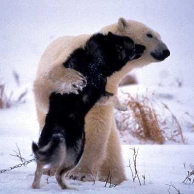 Πολική αρκούδα παίζει με Huskie