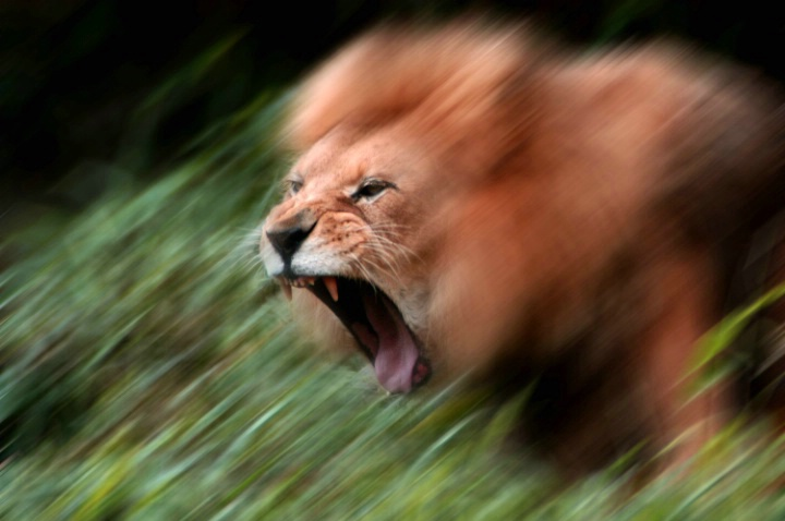 lion_attack_blured