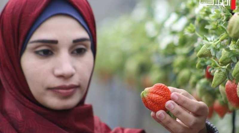 غزة: الشابة حنين أبو دقة تنجح في زراعة الفراولة المعلقة بعد دراسة التمريض