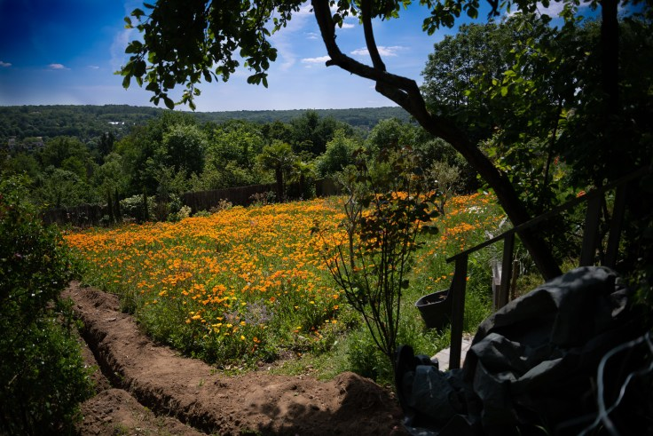after the lockdown - California Poppies