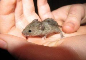 Hvordan man slippe af med mus derhjemme