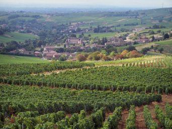 Vineyards near
