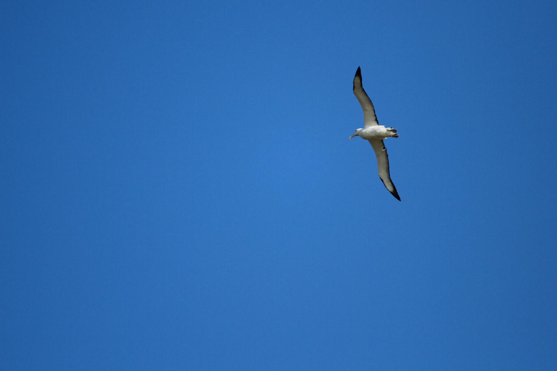 Un albatros royal