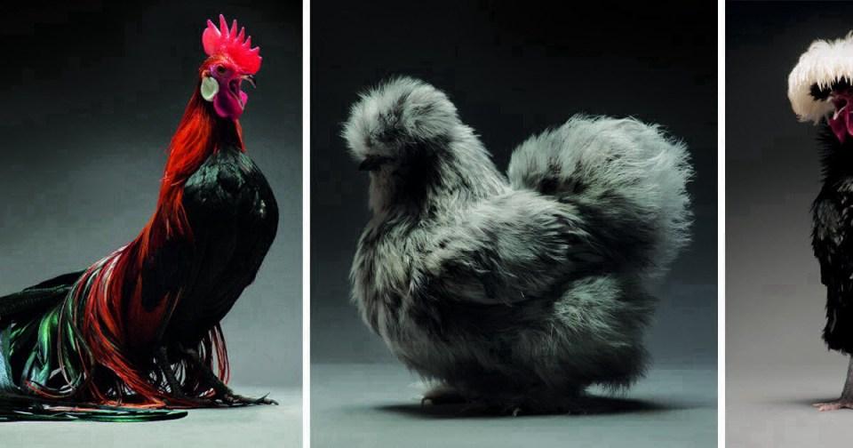 Вот так выглядят самые красивые курицы в мире