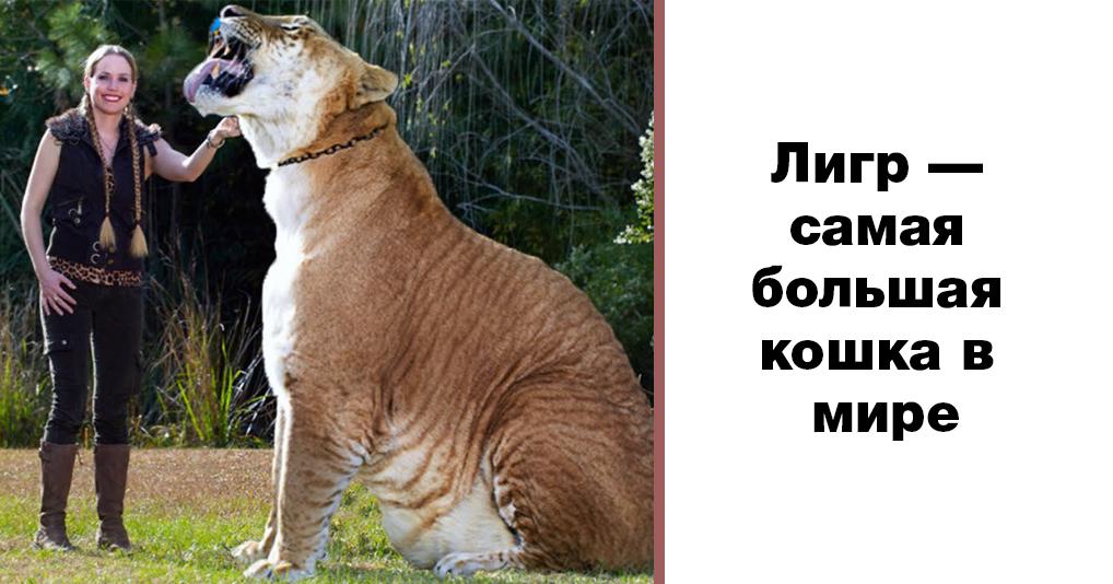 Вот как выглядит лигр – самая большая кошка в мире