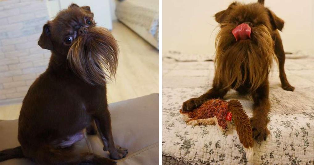 2-летний пёс, которого считают стариком из-за забавной бороды