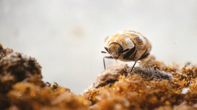 A carpet beetle