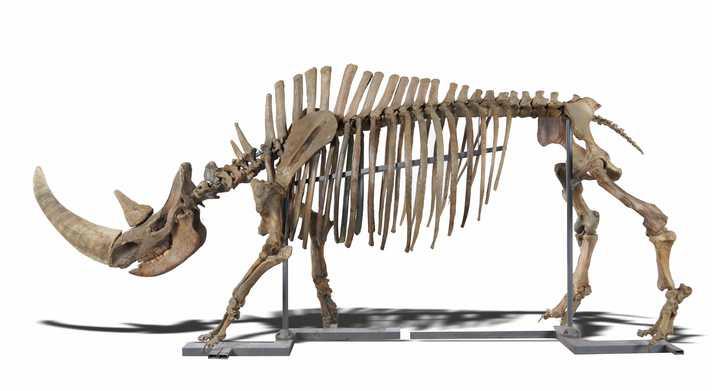 Ice Age animals skeleton
