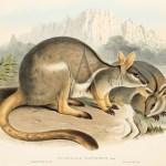 John Gould - Mammals of Australia