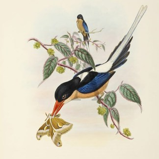 John Gould - New Guinea