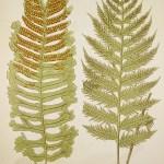 World - Nonindigenous - Lowe's - Ferns