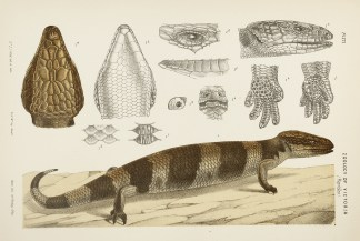 Reptiles - Lizards - McCoy's Zoology