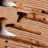 Cara Cepat Basmi Rayap yang Bersarang di Plafon Rumah