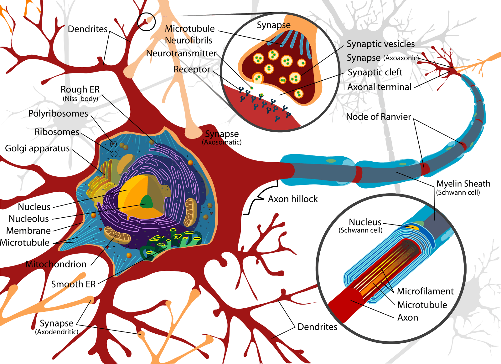 complete neuron cell diagram wiring for ezgo golf cart science in the news world autism awareness day