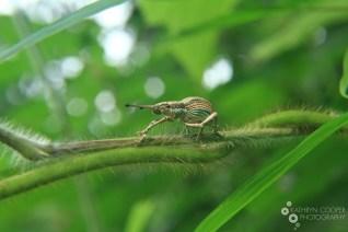 Thai weevil