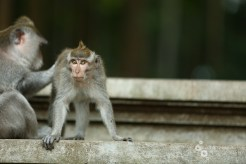 Monkeys act like they have sticks up their butts sometimes