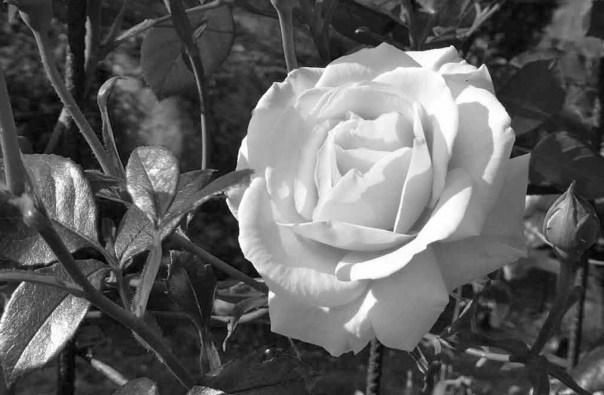 Penny Lane Ros redigerad till vit