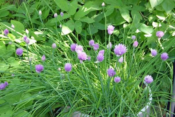 Gräslök, blålila blommor