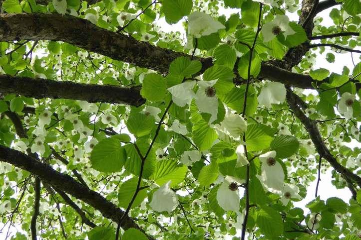 Näsduksträd i Botaniska trädgårdeni Lund 2017