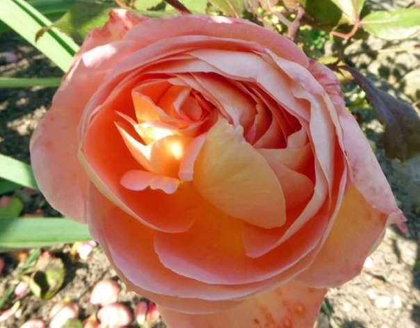 Ros Lady Emma Hamilton