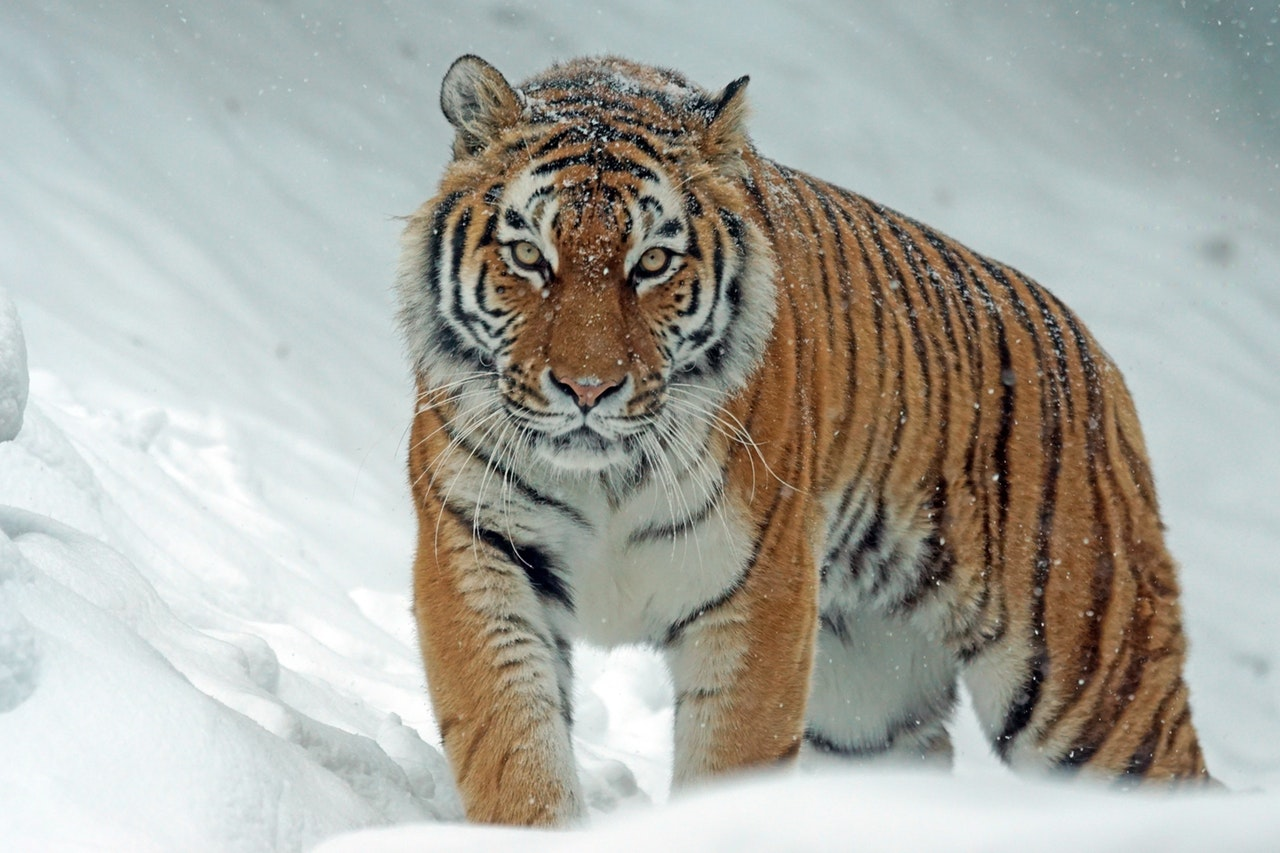 Self esteem Coach - Tiger on snow - depicting self believe, self esteem, self worth