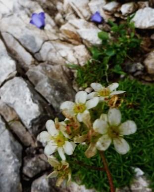 Lifelong Saxifrage with Fairy's Thimble