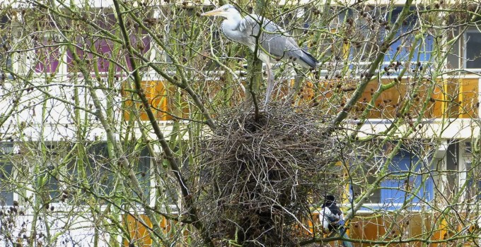 Herron Squats Magpies' Nest