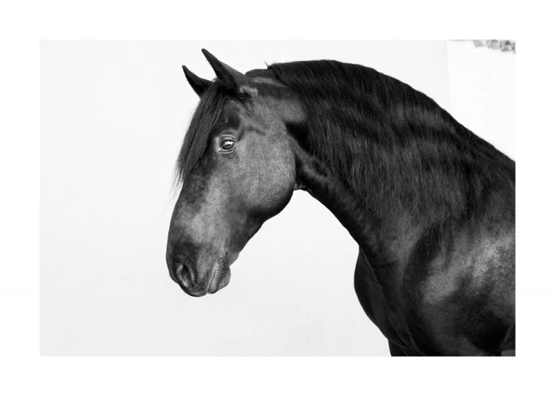 Menorquin Horse: #002