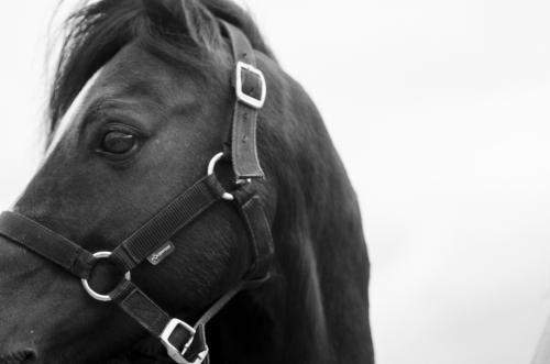 black pony stallion face closeup