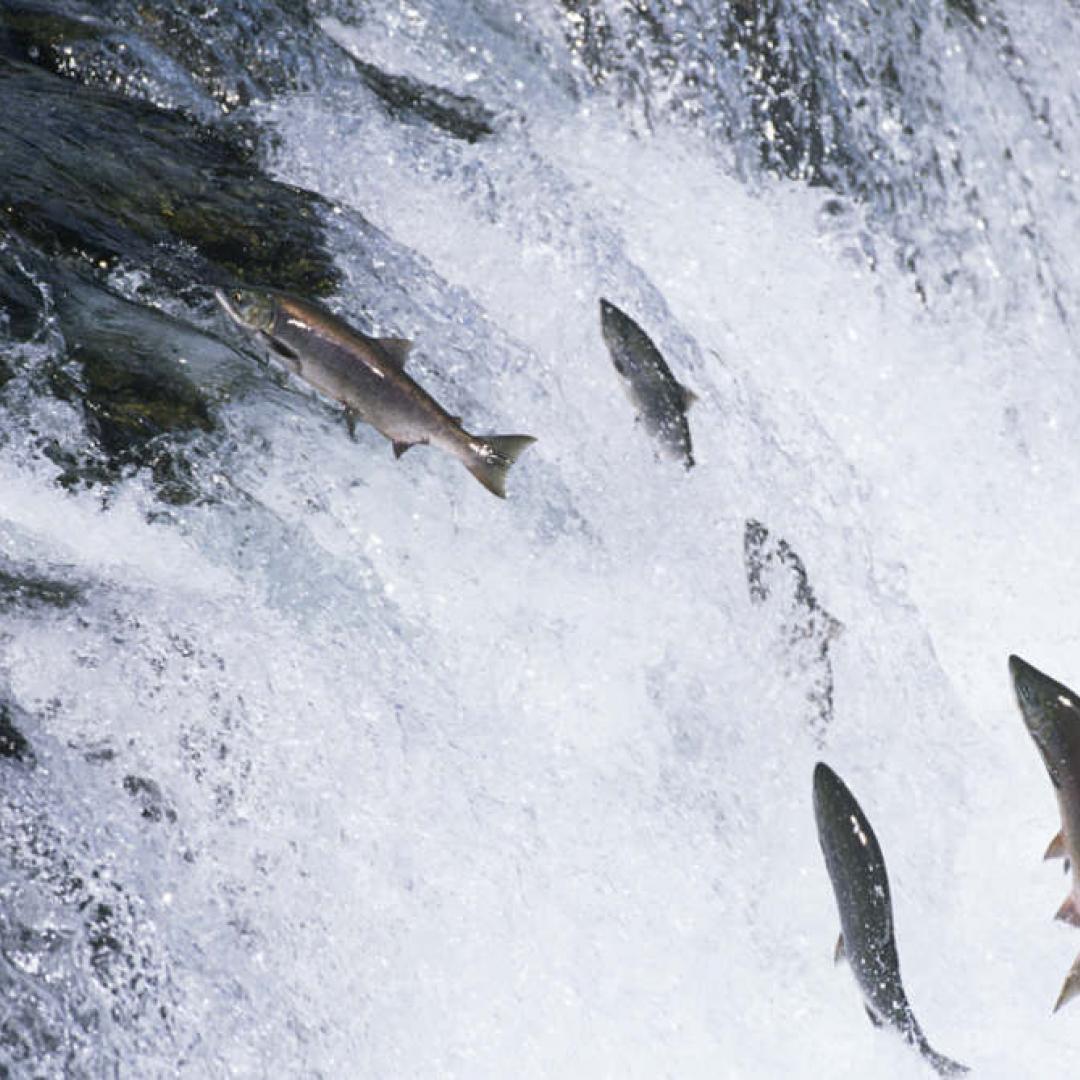 La lucha del salmón por llegar
