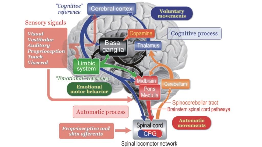 neuroanatomia postura