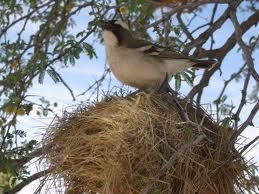 pajaro nido