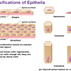 Cilia Animal Cell Diagram Detailed Of The Ear Opinions On Epithelium
