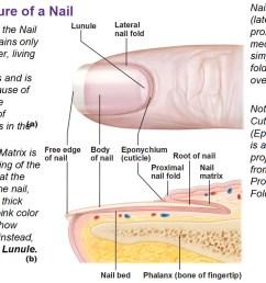 skin system diagram [ 1003 x 789 Pixel ]