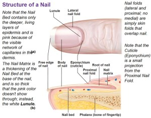 Integumentary System Part 2