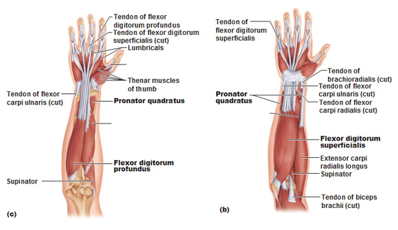 Right Arm Muscle Diagram Posterior View Superficial And Deep