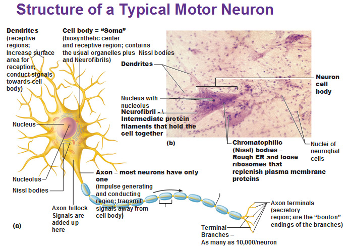 Gallery Neuron Parts And Their Functions
