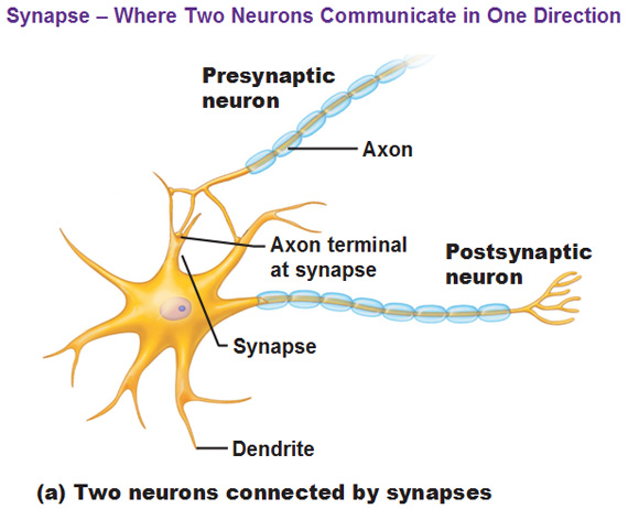 postsynaptic neuron