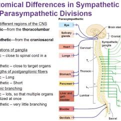 Sympathetic And Parasympathetic Diagram 2002 Ford Ranger Fuse Panel The Autonomic Nervous System