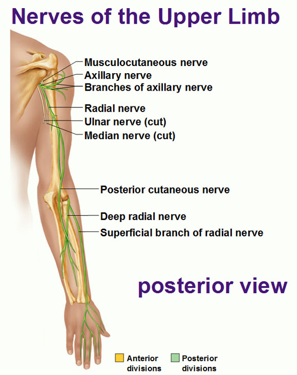 arm muscles anatomy diagram blank 1998 saturn sc2 wiring peripheral nervous system: spinal nerves and plexuses