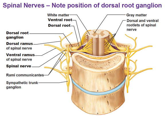 lumbar nerve root diagram pacific ocean food web peripheral nervous system spinal nerves and plexuses note the difference between roots