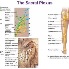 Gluteus Muscles Diagram Pain 2006 Cobalt Factory Radio Wiring Peripheral Nervous System Spinal Nerves And Plexuses
