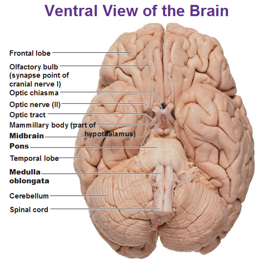 brain diagram pons rv batteries parallel wiring cns intro to and ventricles medulla oblongata mid review the location of midbrain