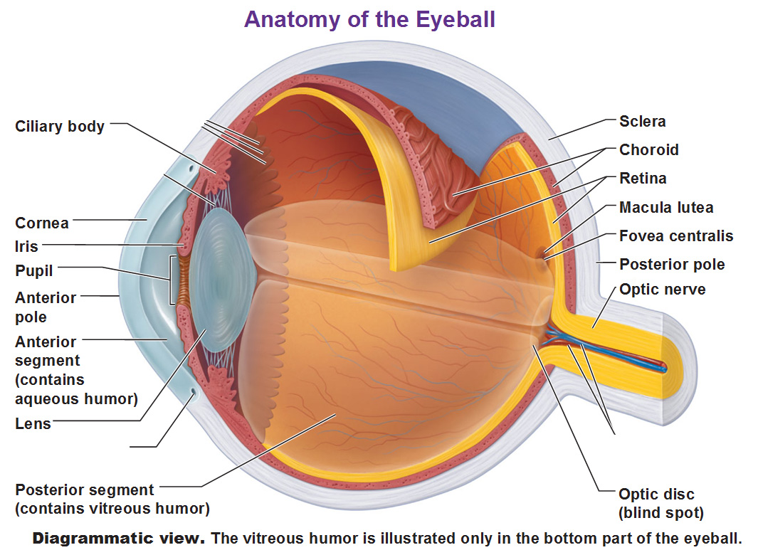 the eye and vision blank eye diagram to label printable diagram of the eye [ 1065 x 773 Pixel ]
