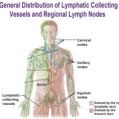 Where Are My Lymph Nodes Diagram Weg W22 Cooling Tower Motor Wiring The Lymphatic System Microscopic Anatomy Of A Node