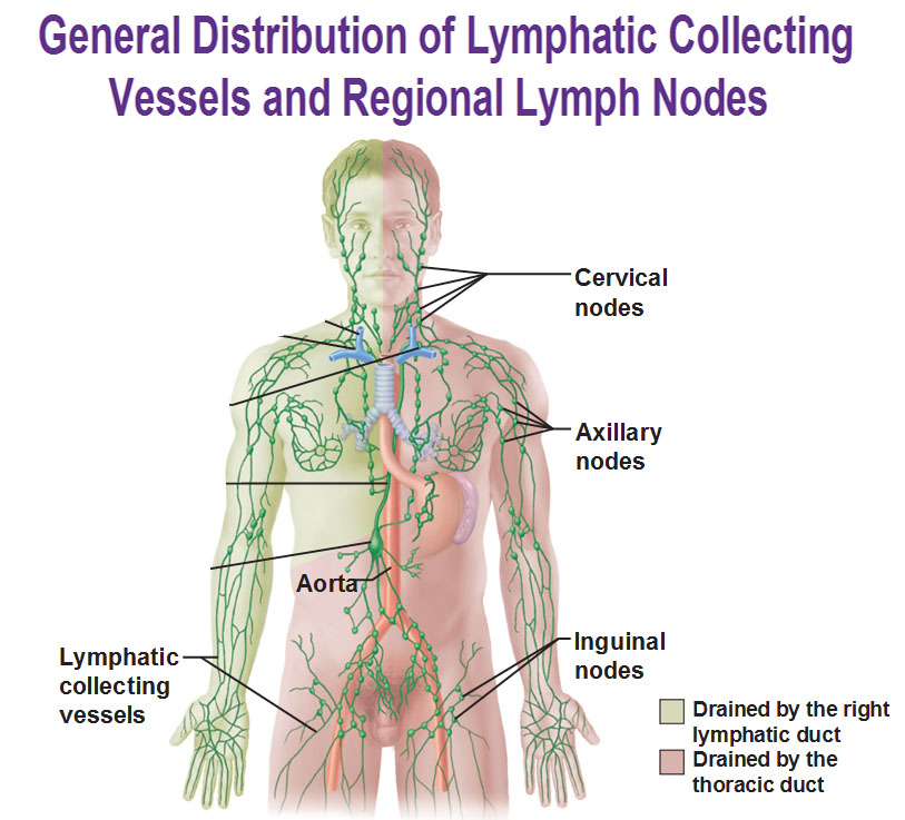 where are my lymph nodes diagram obd2a ecu wiring the lymphatic system microscopic anatomy of a node