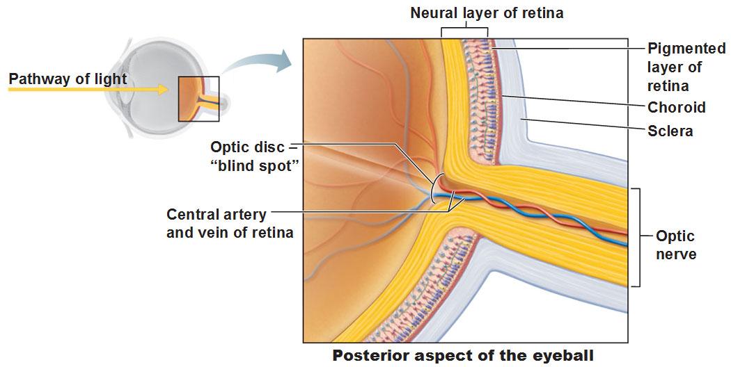 human eye diagram blind spot mustang radio wiring the and vision