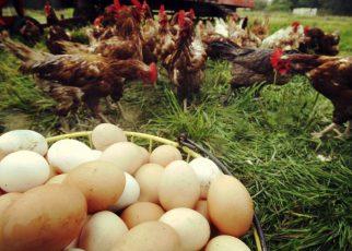Finanțare 100% pentru ferme ecologice de găini