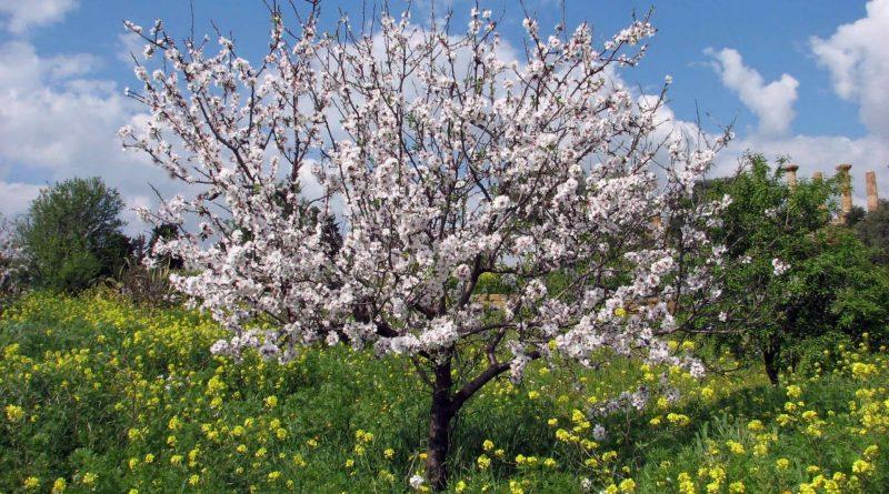 Prunus dulcis Sistematica Etimologia Habitat e Descrizione