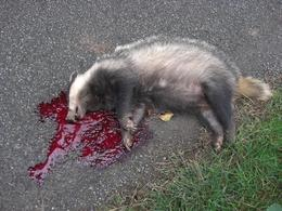 badger_roadkill_wxbody